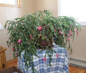 The 68 year old  heirloom Christmas Cactus is still going strong!