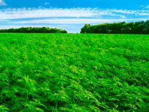 The Crop we need to grow now...A field of hemp is glorious, green and good for the planet. Compare it to frack fields and clear cuts…what do you want for your province?