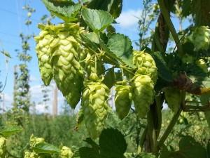 Hop seed cones